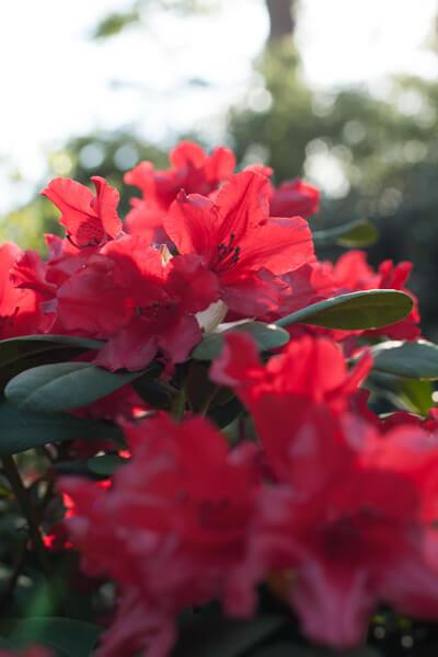 Ein Bild aus dem Garten. Rote Blumen im Gegenlicht